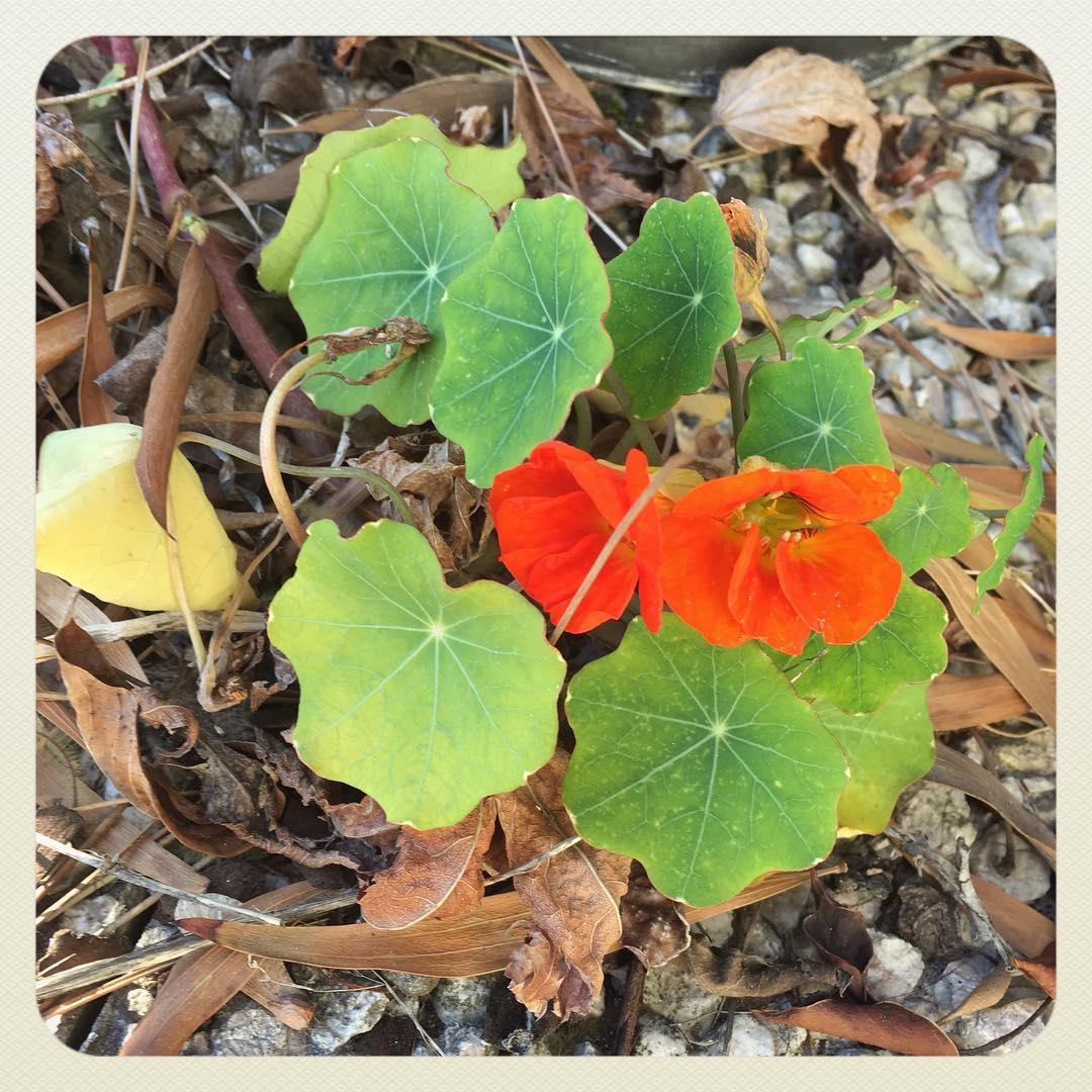 Les capucines sont en passe de survivre à son second hiver dehors... Et en fleurs en prime ;-)